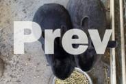 BLACK Dwarf desexed rabbits - $80 EACH or $150 together