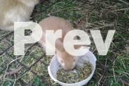 Bunnies - standard x lop, ready to go 3rd Nov.