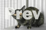 Burmese cats need a home