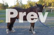 Clydesdale X Station Breed Gelding