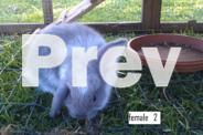 Dwarf Lop x baby bunnies