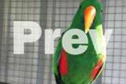 Eclectus and Love Birds and Aviary