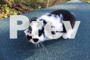 Gorgeous natured and fun floppy eared pet rabbit.