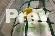 Green Tree Python hatchies