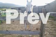 Grey gelding pony