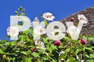 JAC rare plants -- hibiscus mutablilis -- rose of
