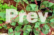 JAC rare plants -- persicaria virginia -- nice foliage