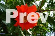 Jac rare plants -- pomegranate -- large fruit variety