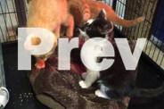 Kittens - Includes $50 worth of vet vouchers