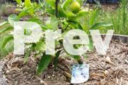 Lime & Lemon trees in wine barrel halves
