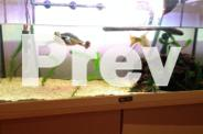 Macleay River Turtle and full habitat - over $1300