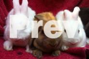 minilop x baby bunnies