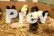 MIXED BREED CHICKS ***Price Drop***