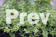 Myoporum parvifolium - Tuestock propagation nursery