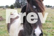 Pinto Clydesdale X Quarter Horse