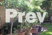 Potted Mature Standard Ficus (Fig) Lollipop shape-