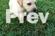 Pure Labrador puppies
