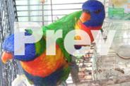 Rainbow Lorikeet bonded semi tame young pair Male and