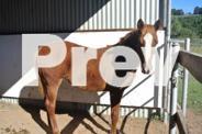 STUNNING REG QUARTER HORSE FILLY REINING LINES