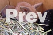 Super cute purebred mini lop baby bunnies