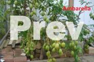Unusual Tropical Fruit Trees and Plants for sale