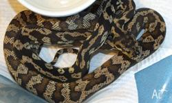 100% Het Darwin Carpet Python Hatchlings � Hatched