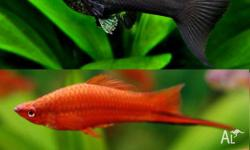 Up for sale I have: 6x Red Swordtails 4x Black & Gold