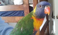 Hi I have an 11 month old baby lorikeet for sale. I