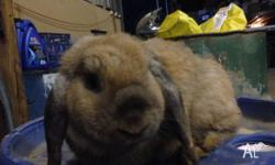 Hi I have 2,12 month old female mini lop rabbits up for