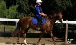 13.2..3hh quiet chestnut Mare (Kirraway). Competed &