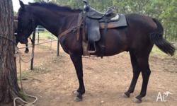 15.1hh Stock Horse Gelding 13 yrs old Great Trail