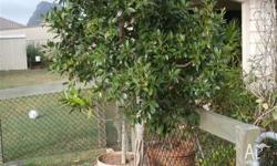 This is an absolutely beautiful 15 yr old Fig tree that