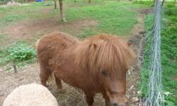 brown female miniture pony only 2 years old born 28th