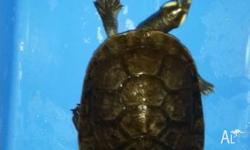 2 hand raised kreft turtles. Also comes with 4 foot