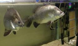 2 x 35 sntemiter barramundi hand feed and very cool