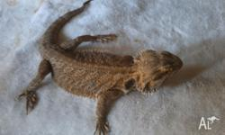 For sale 2 BEARDED DRAGONS Male and Female 2.5 years