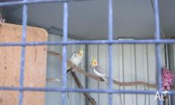 FOR SALE 2 COCKATIELS, CURRENTLY IN HUGE CAGE, WE ARE