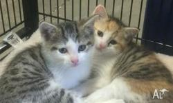 We have 2 female Tabby Kittens for sale. Kittens have
