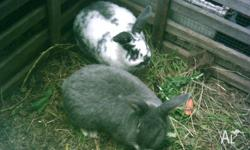 2 lop x bunnies, desexed males, 7 months old,