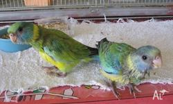 2 Hand raised Cloncurry Parrots (Mallee Ringnecks