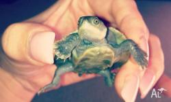I have 2 Macleay river turtles for sale, both 1 and a