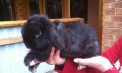 3 year old mini lopped ear male rabbits 1 black, 1