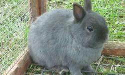 Two grey male Netherland Dwarf rabbits. Both desexed.