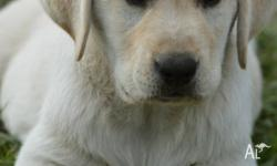 Guwali Labrador Retirevers are Registered Breeders with