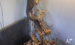 I have two spotted pythons that are about 7 years old,