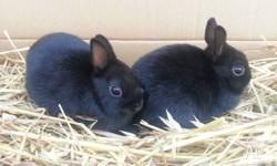 Pure Bred Netherland Dwarf Bunnies Parents from