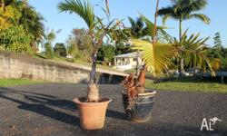 For Sale 2 x Palm tree's 1 x Palm tree in plastic pot 1