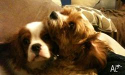 Basil � Male Cavalier King Charles pure bread-