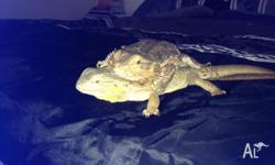 Two female bearded dragons about 4 years old great to