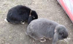 2x female mini-lops. 10 months old. 1 is grey, 1 is